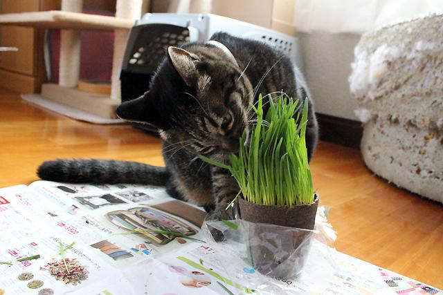 ちゃあさん、猫草ですよ~