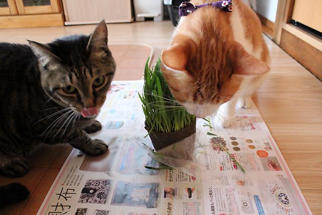 猫草べろんっ