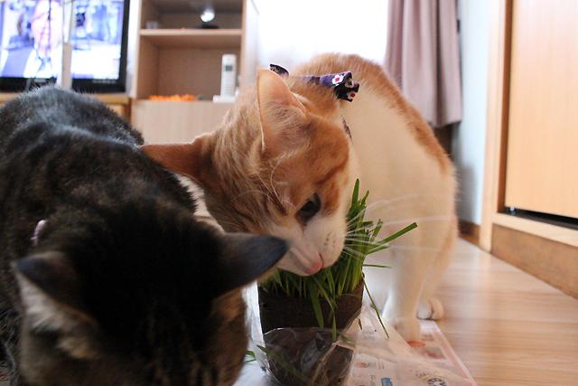 猫草がぶり