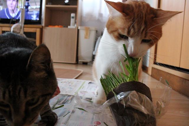 猫草どんどん食べます!