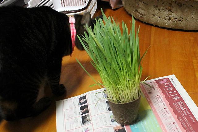 チョー長い猫草
