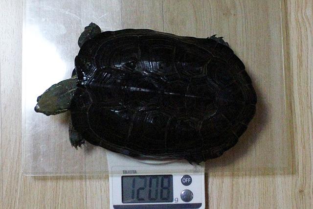 かめき千代 体重:1208g