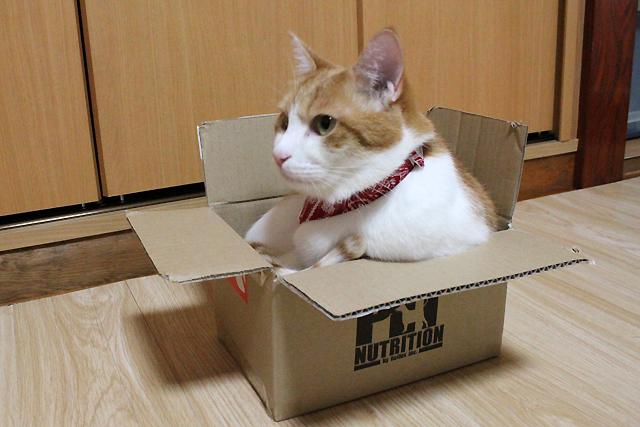 小さいダンボール箱に入る大きな猫