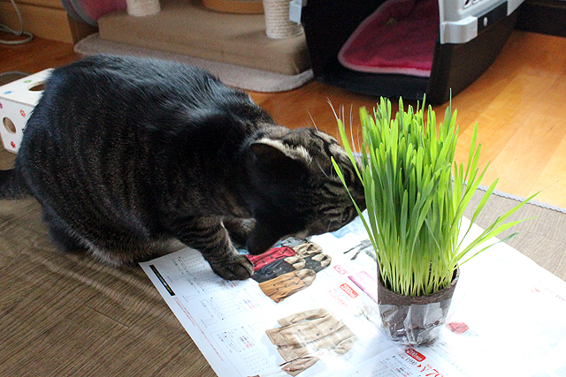 ちゃあさん猫草どうぞ