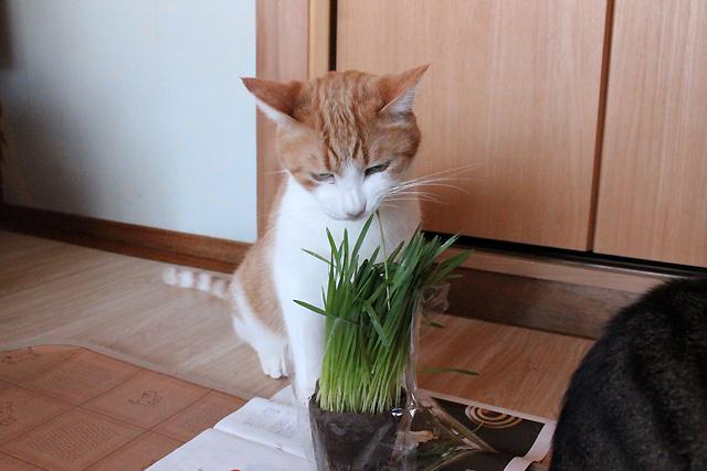 猫草ストロー