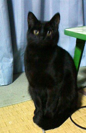 黒猫を探しています!