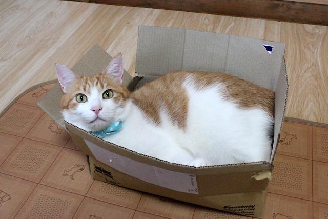 ダンボーラー猫をちび
