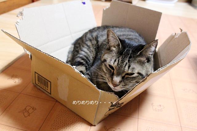 ダンボーラー猫second、おめぐさん