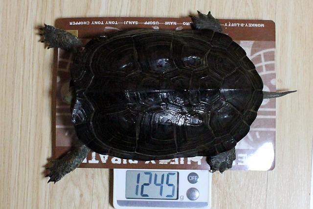 かめき千代 体重:1245g