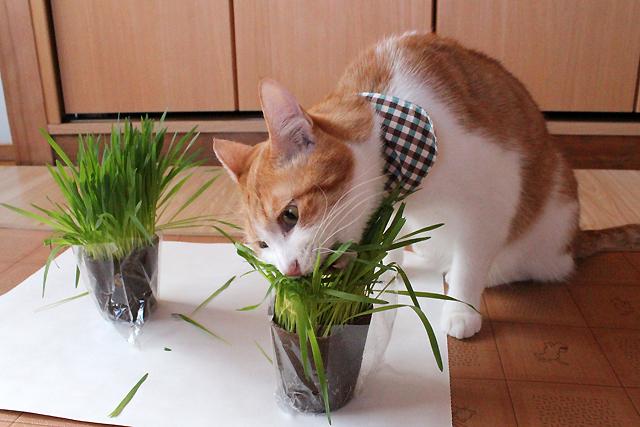 猫草大好きー