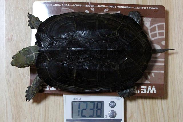 かめき千代 体重:1238g