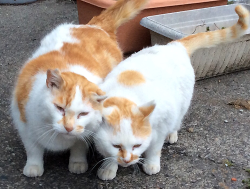 TNR、耳先カット猫