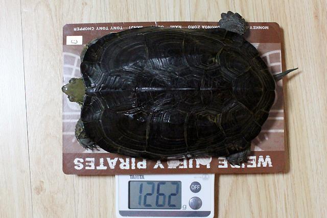 かめき千代 体重:1262g