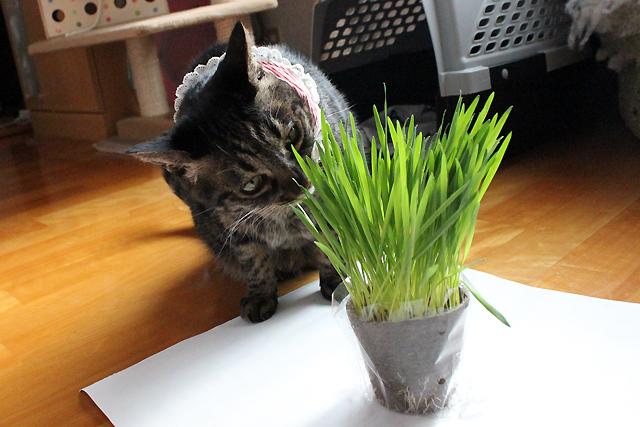 猫草いただきま~す