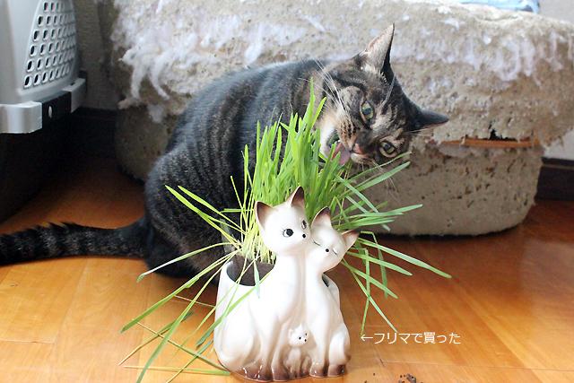 猫草を上手に(?)食べる猫ちゃあさん