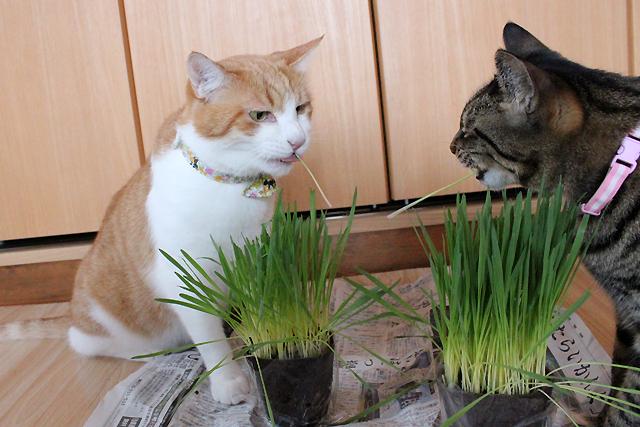 猫草つるーっ
