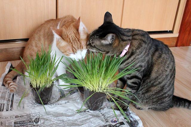 猫草、そっちはどお?