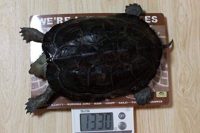 かめき千代 体重:1330g