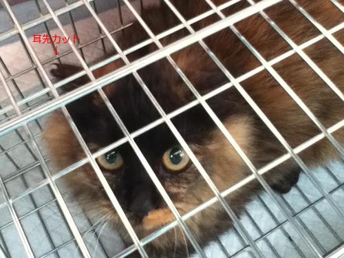 猫のTNR、耳先カット猫