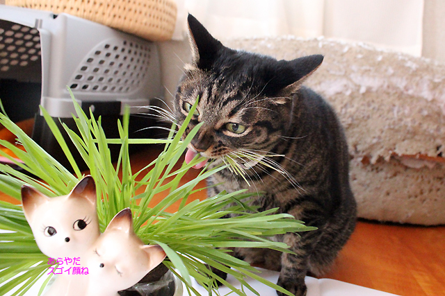 猫草、ちゃさんちゃんと口に入ってます