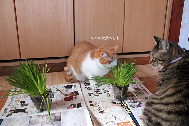 めぐの猫草を横取りをちび