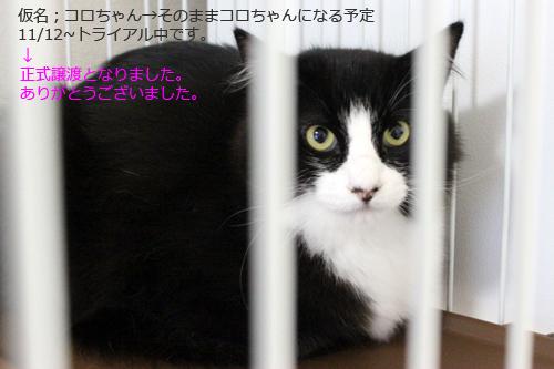 保護猫コロちゃん正式譲渡決定!
