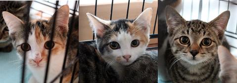 キジトラ男子、三毛女子、保護犬猫譲渡会参加予定です。