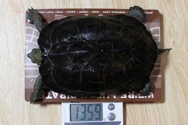 かめき千代 体重:1359g