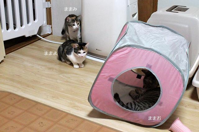 猫の里親募集中、キジトラ、三毛猫