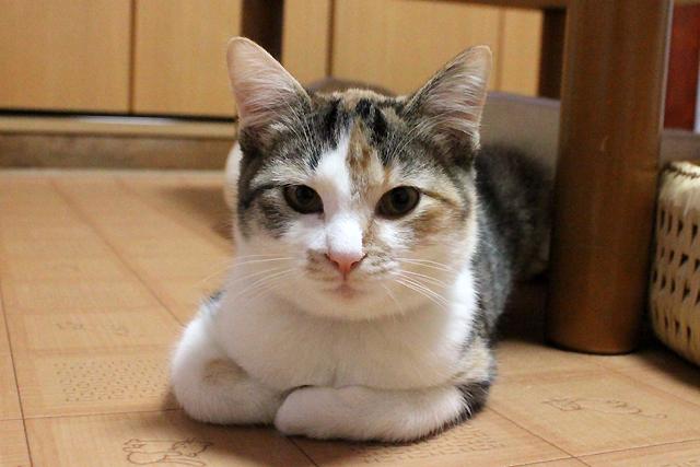 三毛猫ままみちゃん、里親募集中