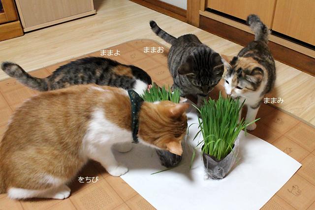 初めての猫草♪