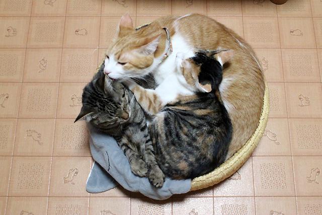 猫団子は3ニャンに