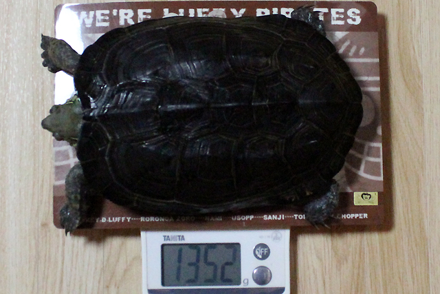 かめき千代 体重;1352g