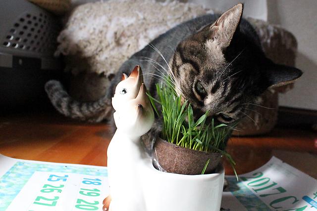 猫草がぶーっ