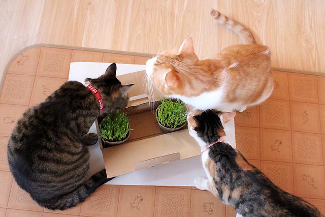 2回目の猫草