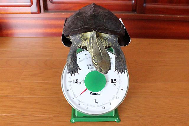 かめき千代 体重:1270g