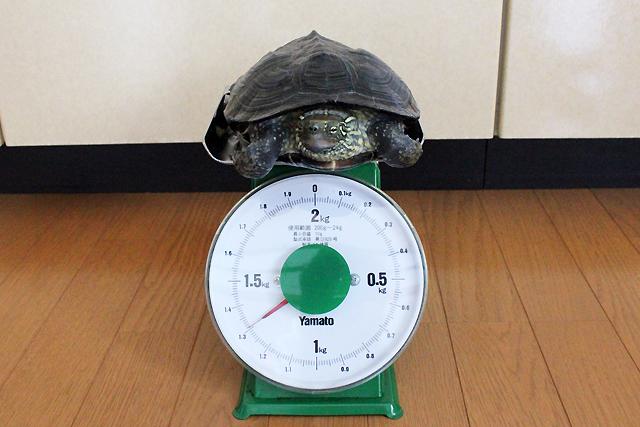 かめき千代 体重:1310g