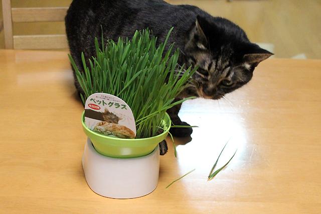 ちゃあさん猫草見つけた!