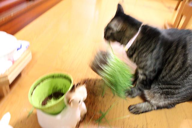 猫草バラバラ事件