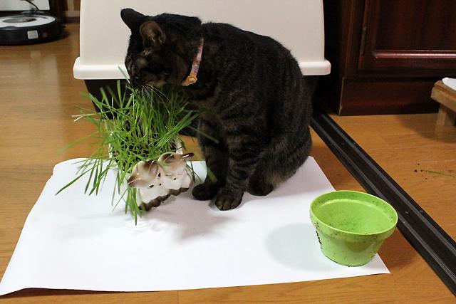仕切り直しな猫草