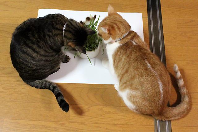 猫草見つけたよ