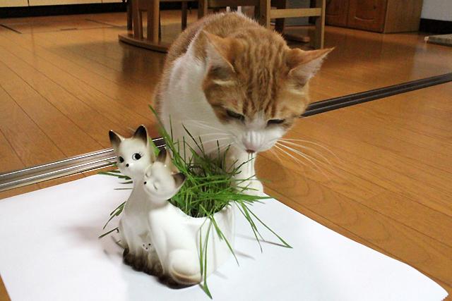 猫草上手に食べます
