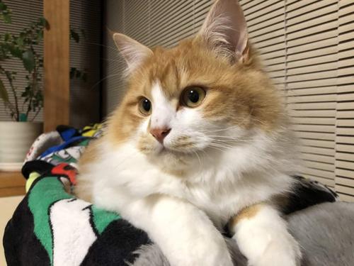 ネコと動物愛護チャリティーカレンダー2019、12月