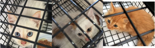 子猫保護のための捕獲