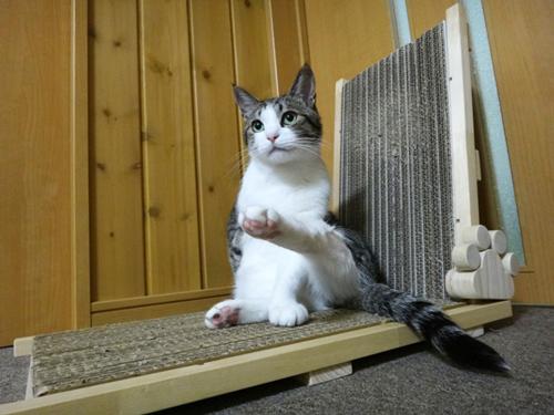 猫の手作り爪とぎ、飛麿(3歳)爪とぎの上でくつろぎ中
