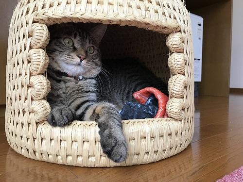 猫つぐら(猫ちぐら)猫のムギちゃん