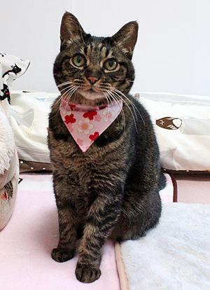 猫のおしゃれバンダナ、桜さくら