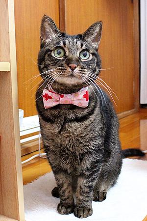 猫のおしゃれリボン、ちゃあ店長