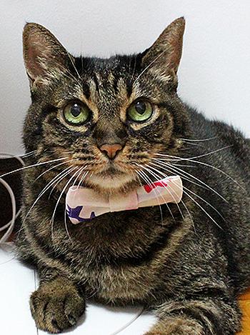 猫の首輪用、付け替えリボン金魚柄