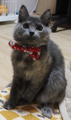 猫の首輪用、付け替えリボンクリスマス柄、アルバイト麦ちゃん